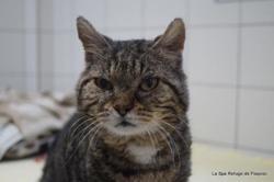 Minoo, Chat europeen à adopter