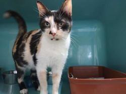 Manou, Chat europeen à adopter