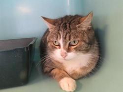 Judy, Chat europeen à adopter