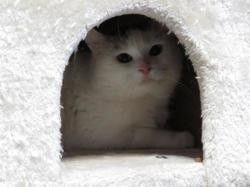 Tiburce, Chat europeen à adopter