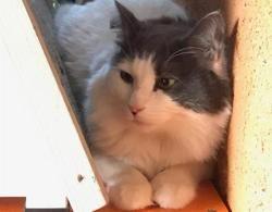 Luffy, Chat europeen à adopter
