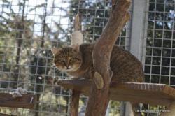 Mimi, Chat europeen à adopter