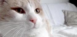Chablis, Chat europeen à adopter