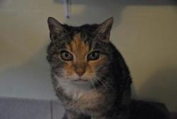 Freya, Chat europeen à adopter