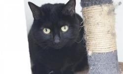 Mila, Chat europeen à adopter