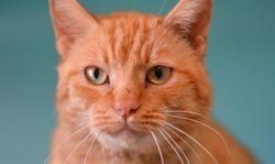 Garfield, Chat europeen à adopter
