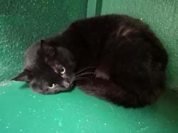 Etna, Chat europeen à adopter