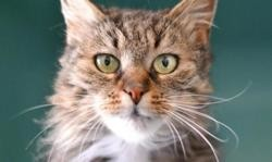 Lady , Chat europeen à adopter