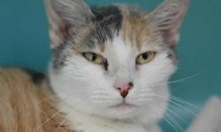 Solidaire stracy, Chat europeen à adopter
