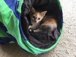 tosca, Chat européen à adopter
