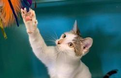 Kenza (réservée), Chat europeen à adopter