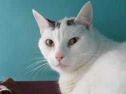 Mickey, Chat europeen à adopter