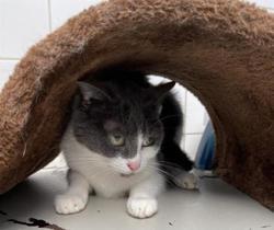 Josephine (réservée), Chat europeen à adopter