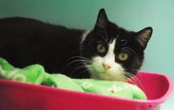 Twily, Chat europeen à adopter