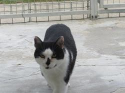 Gaspard, Chat europeen à adopter