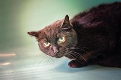 Daffy, Chat europeen à adopter