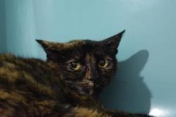 Baya, Chat europeen à adopter