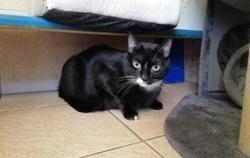 Bandy, Chat europeen à adopter