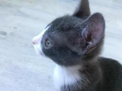 Remi (réservé) , Chaton europeen à adopter