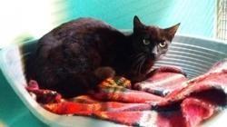 Lila , Chat europeen à adopter