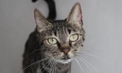 Lilirose, Chat europeen à adopter