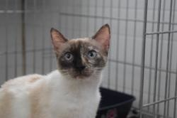 Opale, Chat europeen à adopter