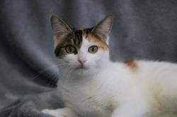 Zelie hab13467, Chat europeen à adopter
