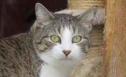 Makaron, Chat europeen à adopter