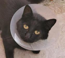 Baguera, Chat europeen à adopter
