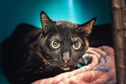 Daisy, Chat europeen à adopter