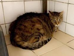 Tigrou, Chat europeen à adopter