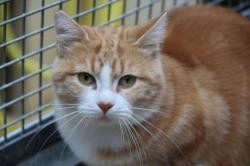 Maroushka , Chat europeen à adopter