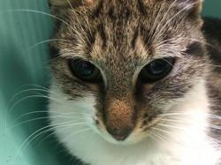 Rebeca, Chat europeen à adopter