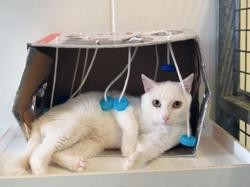 Aladin, Chat europeen à adopter