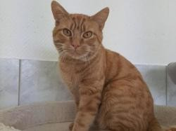 Lapinous, Chat europeen à adopter