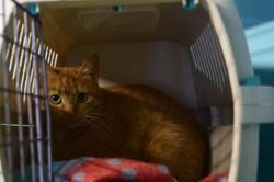 Abricote, Chat europeen à adopter