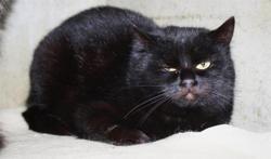 Osiris, Chat europeen à adopter