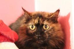 Ronchonne, Chat europeen à adopter