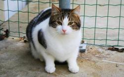 Châtaigne, Chat europeen à adopter