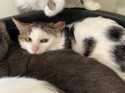 Sneackers, Chat europeen à adopter