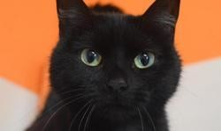 Missy, Chat europeen à adopter