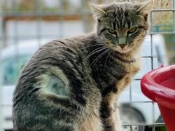 Tigresse, Chat europeen à adopter