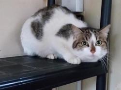 Langoustine, Chat européen à adopter