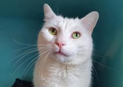 Loulou cha13354, Chat europeen à adopter