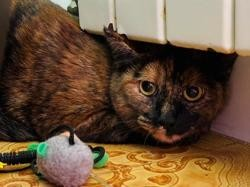 Carrie, Chaton europeen à adopter