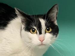 Rosalie, Chat europeen à adopter