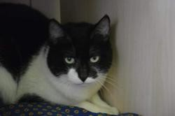 Ti sauvage cha13386, Chat europeen à adopter