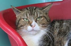 Stella, Chat europeen à adopter