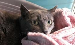 Nikita, Chat europeen à adopter