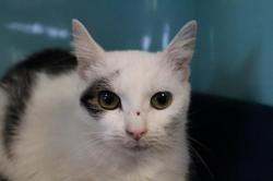Sheba, Chat europeen à adopter